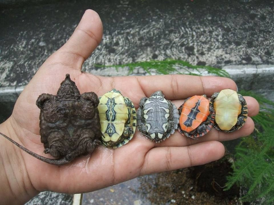 Yellow Bellied Slider Turtle Questions including Can red