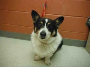 Chester Is An Adoptable Welsh Corgi Dog In Urbana Il Big