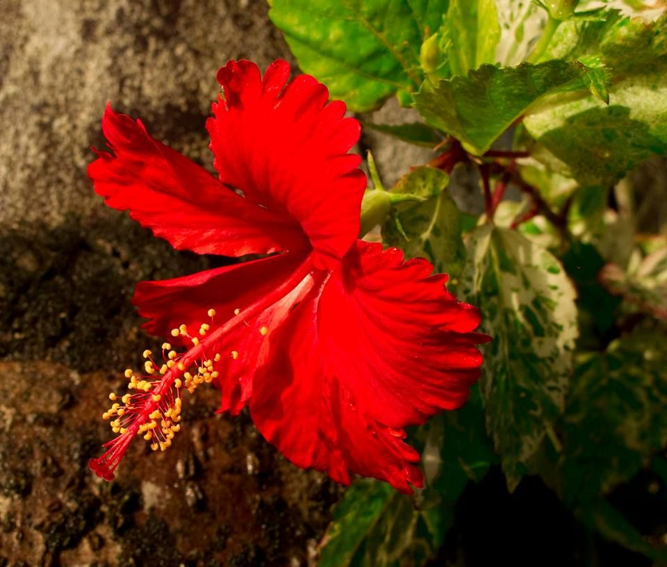 National Flowers Of World Countries Fiji Hibiscus Www Facebook Com Flowerofworld Www Flowerhomes Blogspot Com Hibiscus Plant Beautiful Flowers Hibiscus