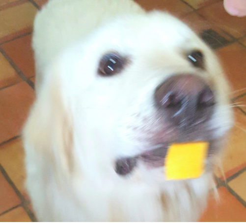 Hope Great Pyrenees With Cheese Great Pyrenees Rescue Dogs Rescue