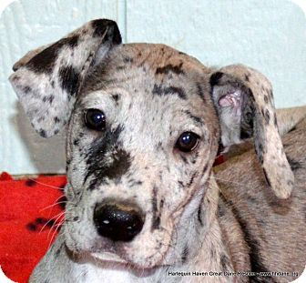 Pin By Harlequin Haven Great Dane Rescue On Hhgdr Adopted