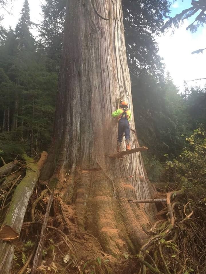 Bucker Bob Old West Coast Logging Pictures Tree