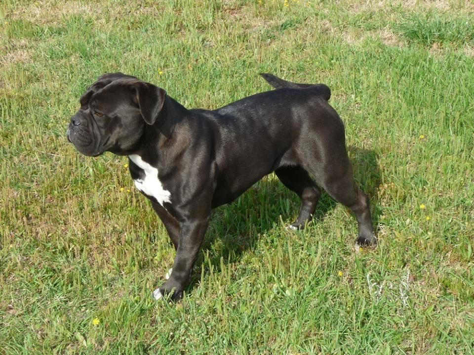 Leavitt Bulldog Bulldog Breeds Bully Dog Bulldog