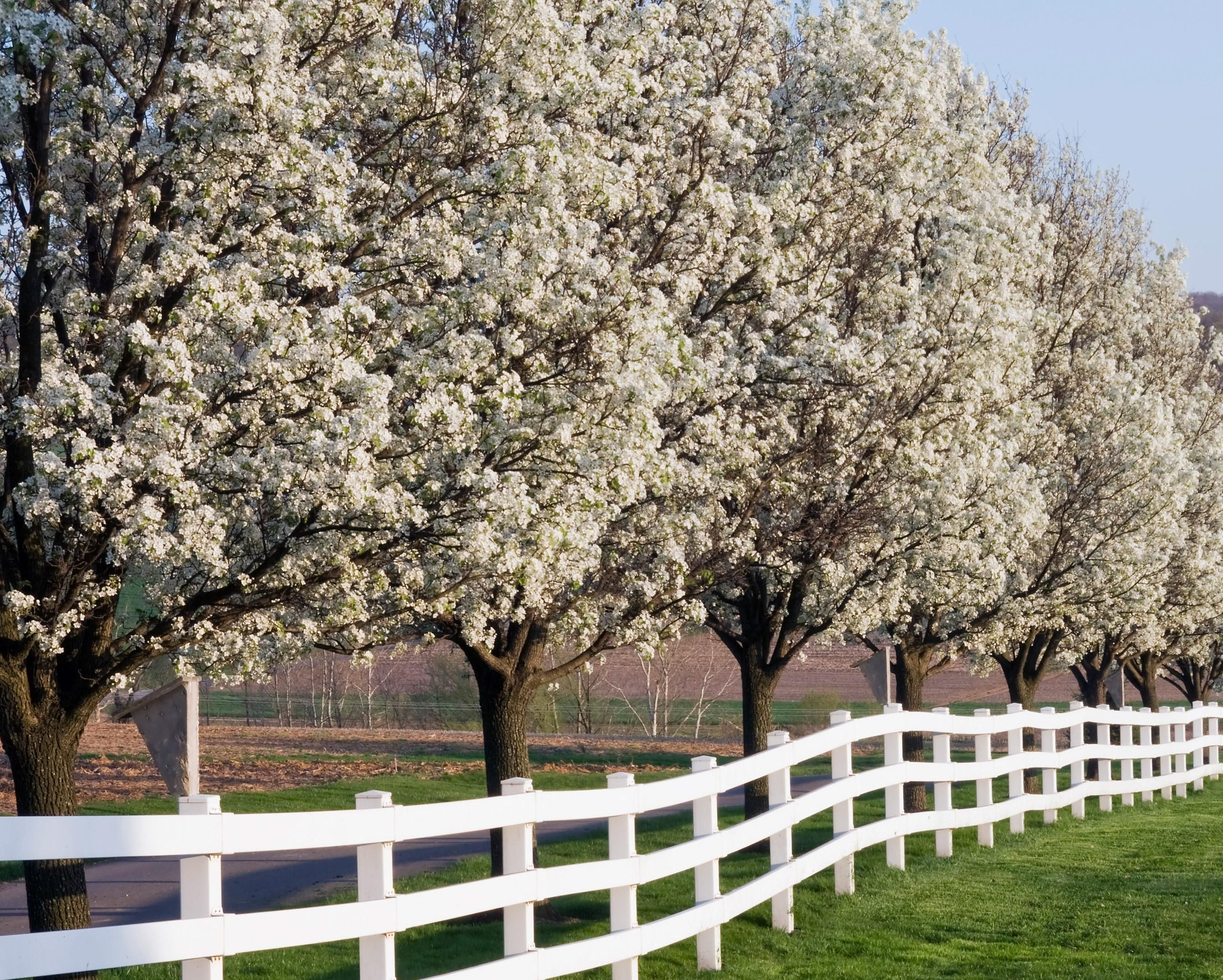 Dogwood Trees Everything You Ever Wanted To Know Dogwood Trees