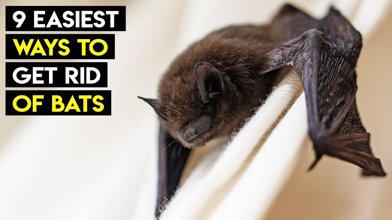 9 Easiest Ways To Get Rid Of Bats In 2020 Getting Rid Of Bats Bats In Attic Bat