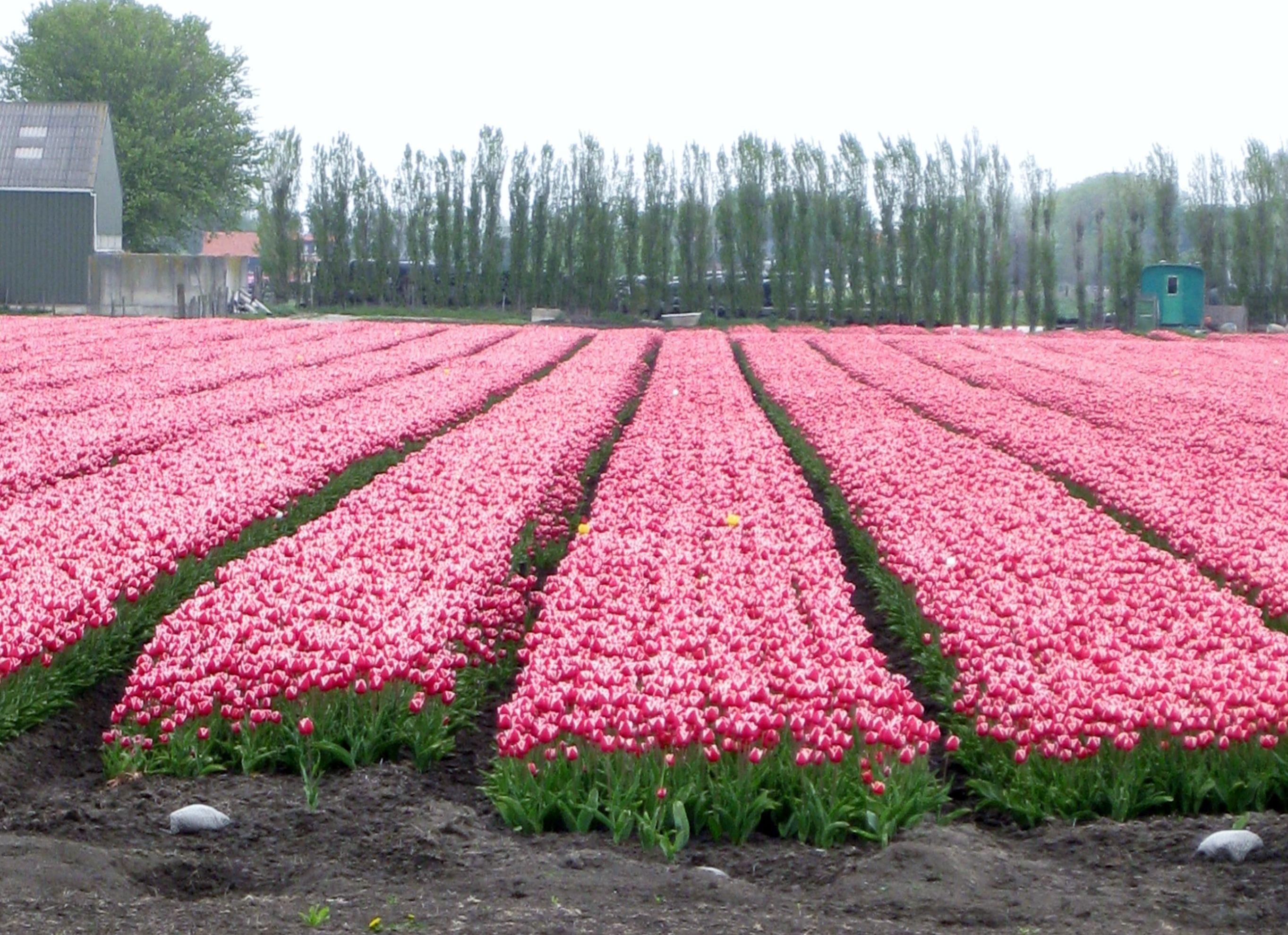 Tulpen,tulpen