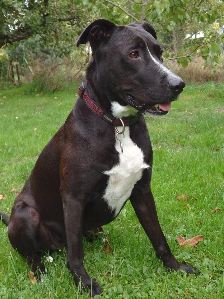 Sara Mix German Shepherd X Pitbull Puppies Doggy Pets