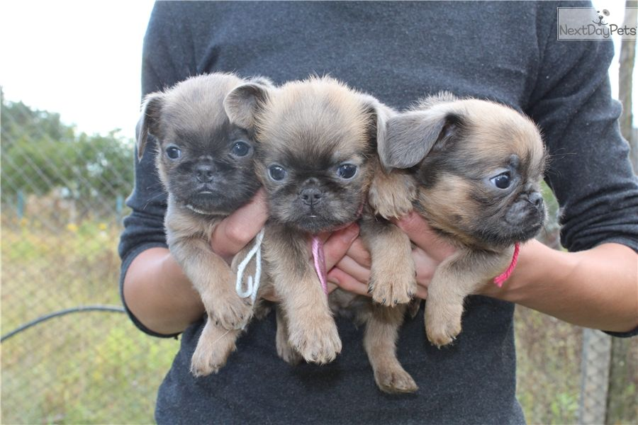 Brussels Griffon Puppy For Sale Near Ukraine 2a4eba47 3681
