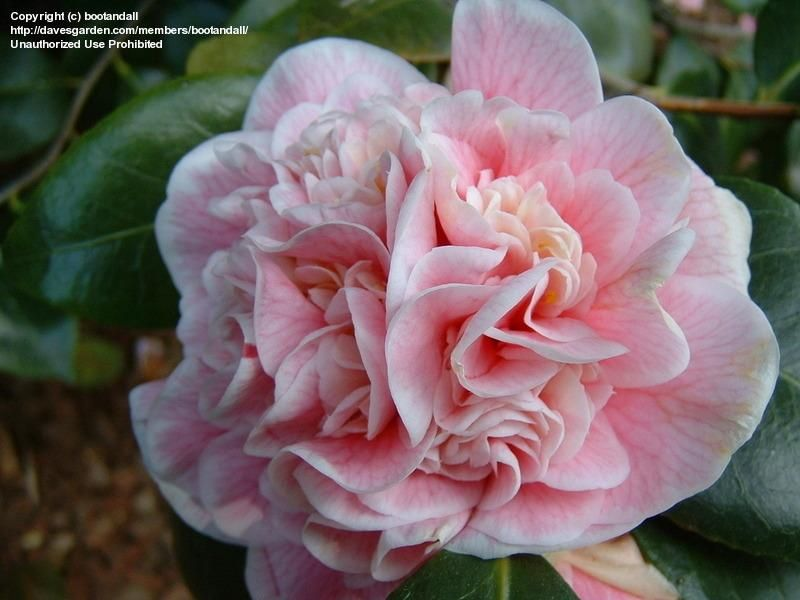Japanese Camellia Lady Loch Must Take Some Cuttings Camellia Flowers Lady
