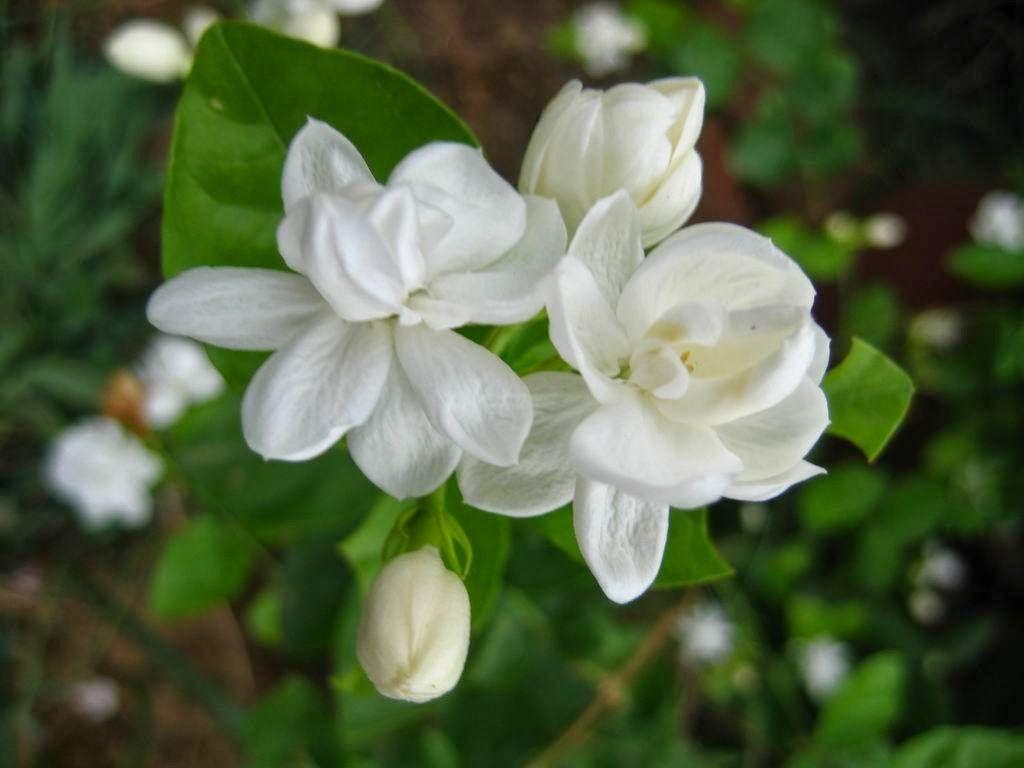 Mullapoo Smells Soooo Good Nature Pinterest Flowers Jasmine