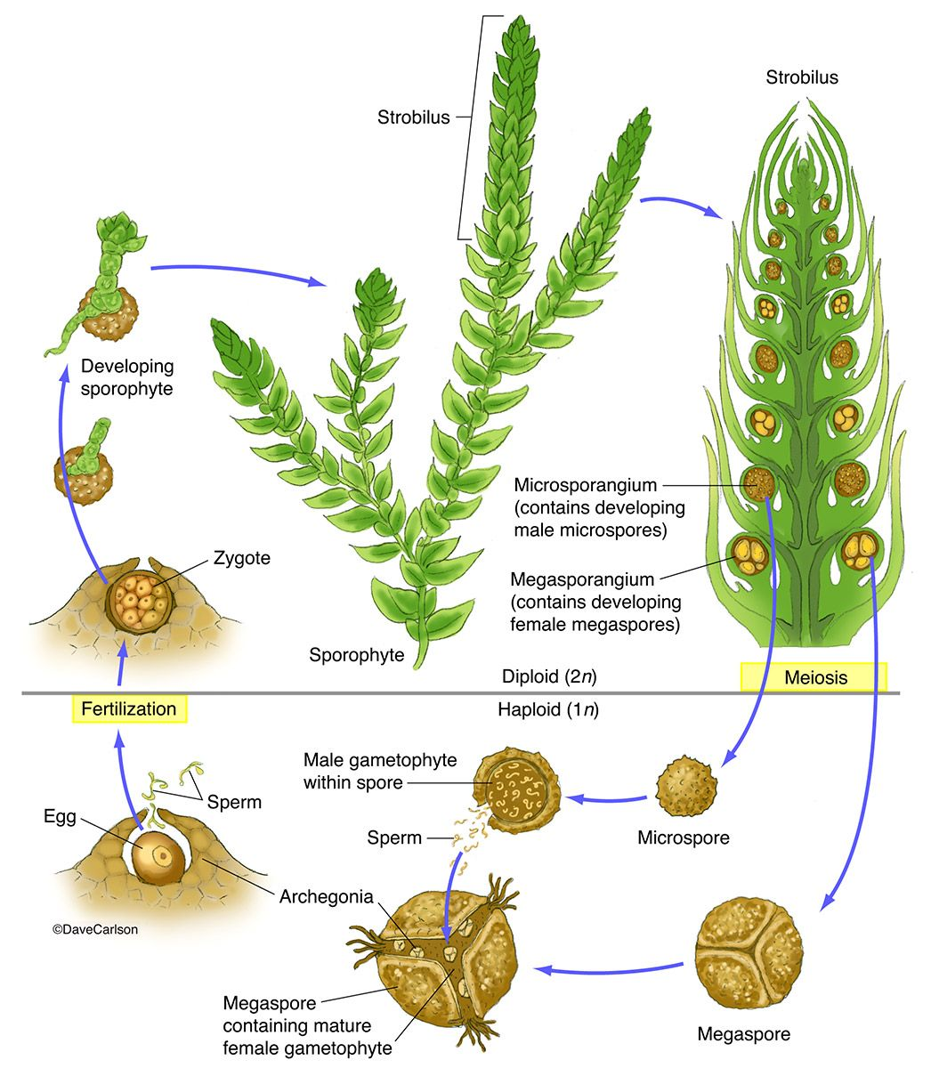 Spike Moss Selaginella Structure Amp Life Cycle Photo