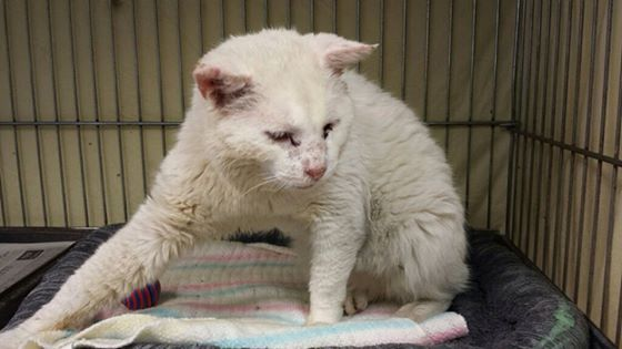 KITTY ROCKY HAS UNTIL MON AM, APRIL 20, 2015  VINELAND, NJ (CCSPCA_Foster@yahoo.com) Meet Rocky** Urgent 48 hours!  Rocky is an all-white handsome man who arrived at the shelter with an injury to his face. His behavior is a bit neurological, and we think he has suffered some type of trauma. Rocky is still very friendly and playful. Please contact CCSPCA_Foster@yahoo.com  Vineland NJ