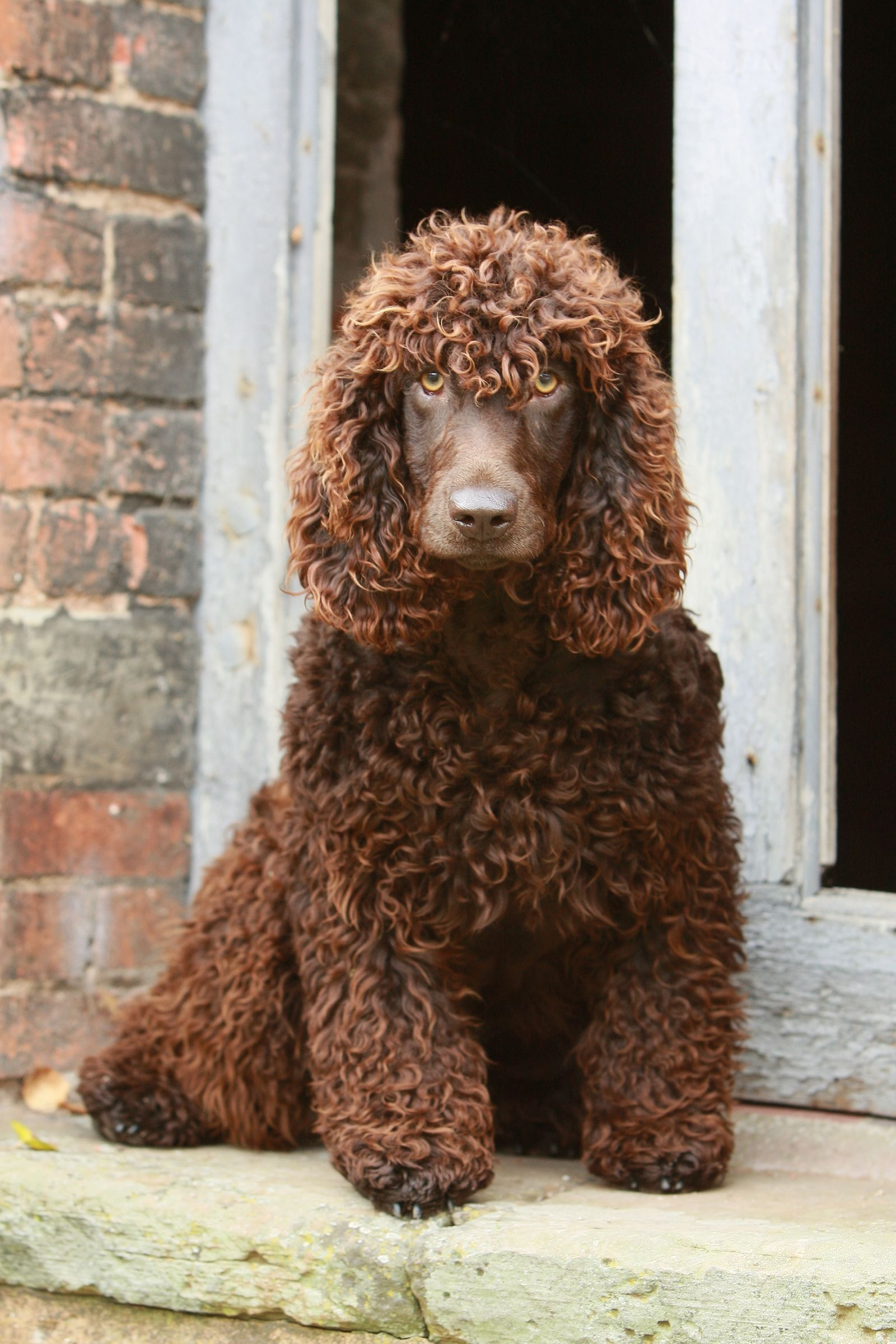 The 20 Cutest Dog Breeds That Don T Shed Irish Water Spaniel Dog Breeds That Dont Shed Hypoallergenic Dogs