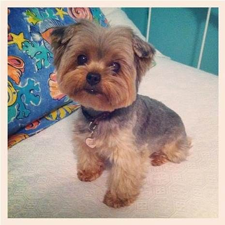 Teddy Bear Yorkie Haircut Bing Images Yorkshire Terrier Dog Yorkie Puppy Yorkie