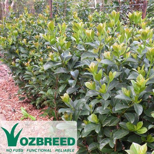 Cheap Plants That Grow Fast: Viburnum Odoratissimum Dense Fence™