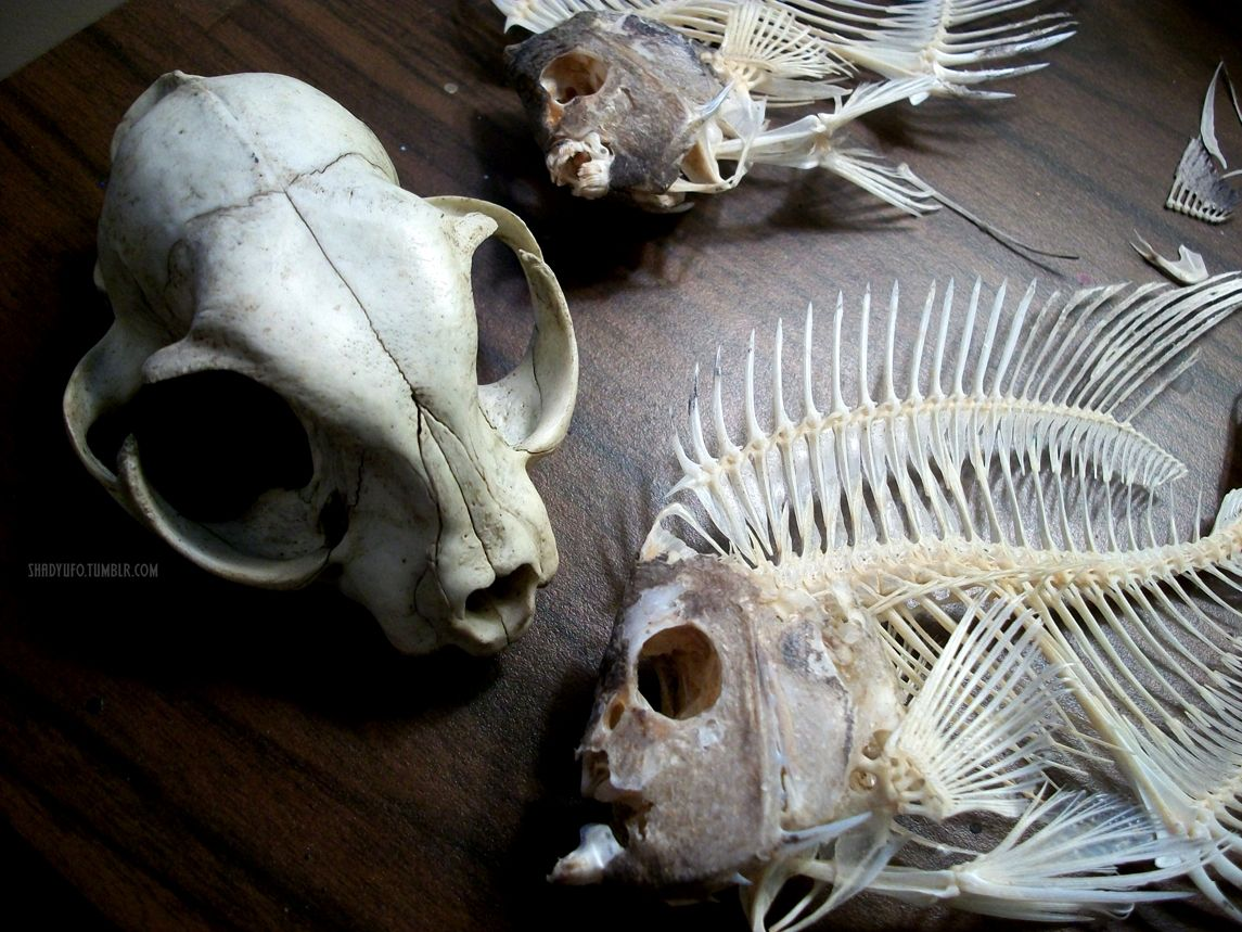 Cat skull, fish skull. | After Death, Before Dust. | Pinterest | Cat ...