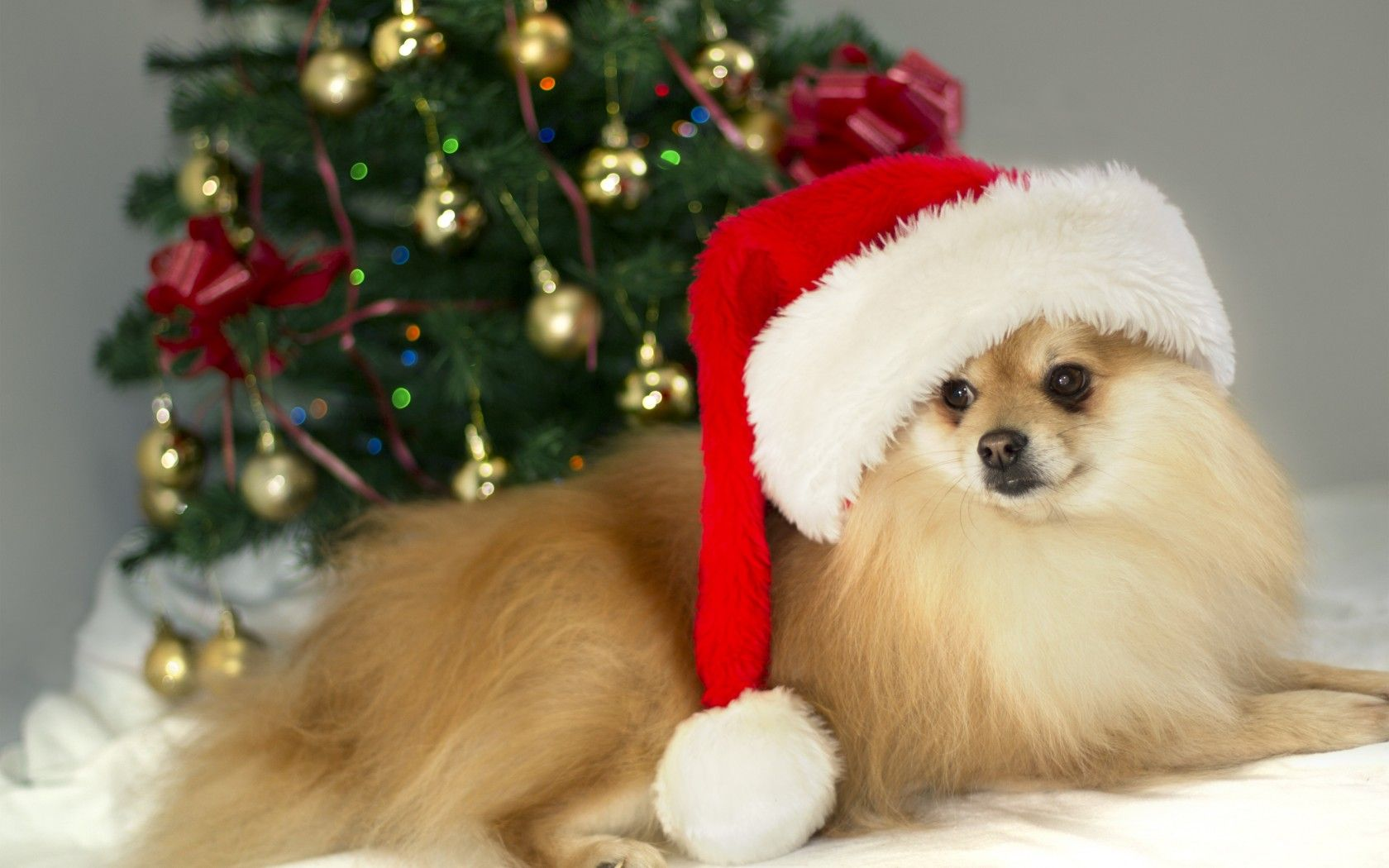 Wallpaper Small German Spitz Dog Cute Brown Christmas Christmas Dog Spitz Dogs Dogs
