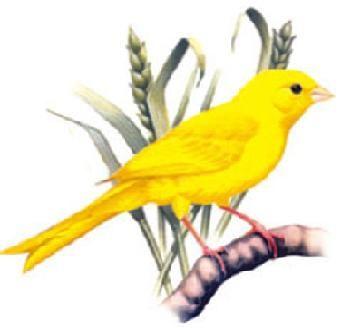 Resultado De Imagen De Canarios Amarillos Canarios Pintura De Pajaros Ilustracion Acuarela