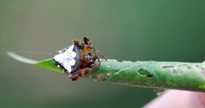 Arrowhead Weaver spider - MObugs
