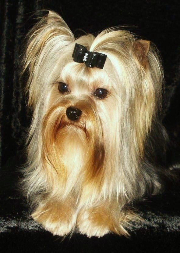 how to make a bow for a yorkie poo