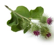 Burdock root is recommended for skin diseases where purification of the system is indicated, such as acne, psoriasis, and eczema. Burdock root tea can also be used as a skin wash, or taken internally to protect and support the liver.
