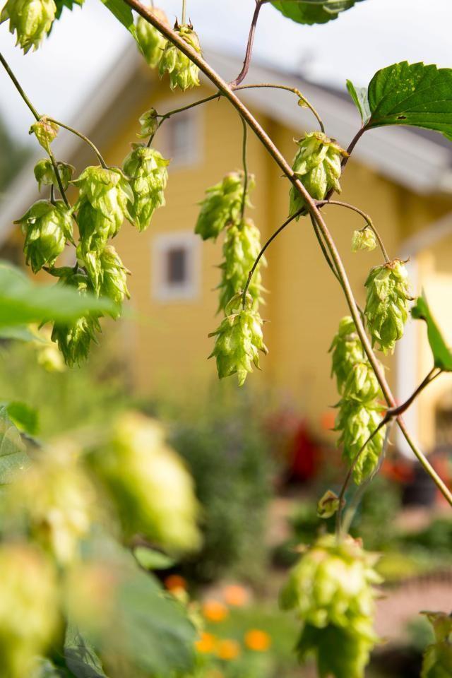 Humala kuivatuista käpymäisistä vaaleanvihreistä emitähkistä syntyy hyvän unen tuovaa teetä. Text Heidi Haapalahti, photo Teija Tuisku viherpiha.fi