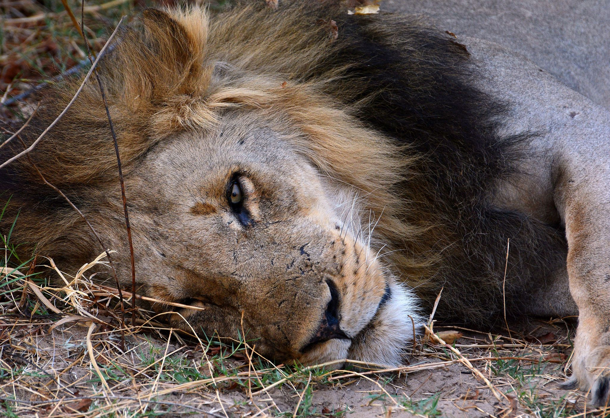 Sleepy Lion with one eye open. South Luangwa valley ...