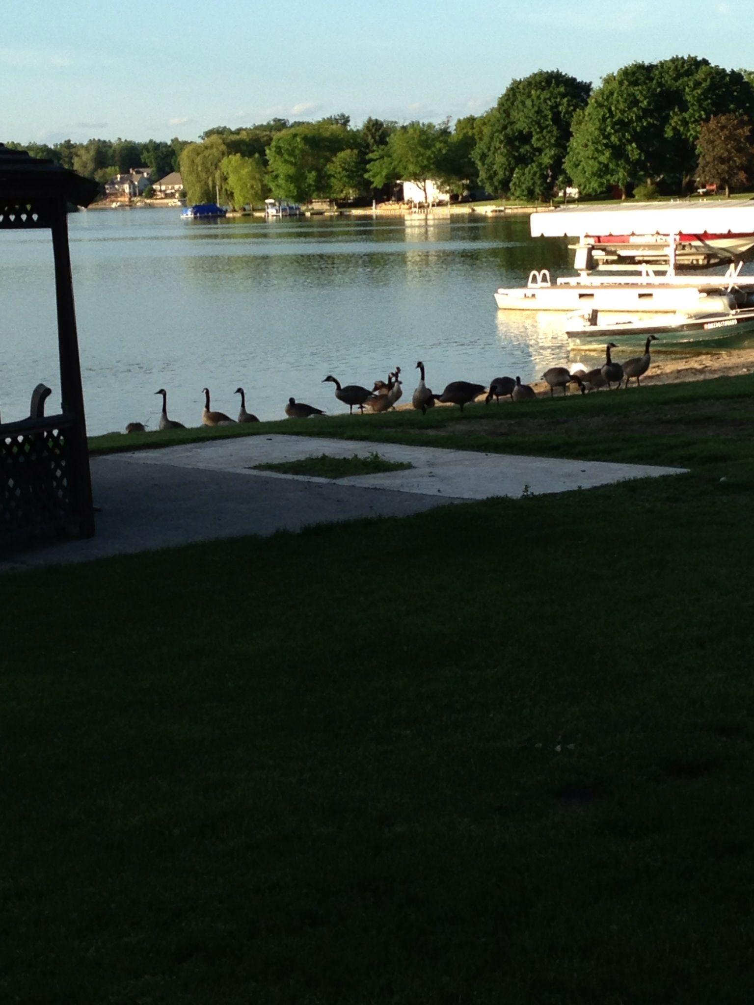 Geese at Thompson Lake.