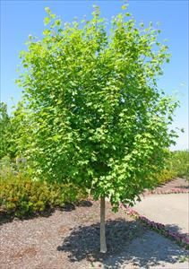 Bigtooth Maple   Deciduous Trees 25' to 50' tall   Pinterest ...