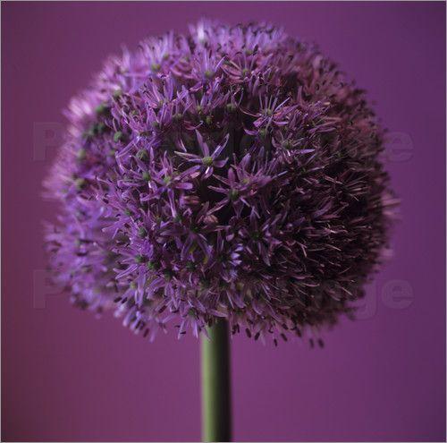 Cristina Pedrazzini - Lauch (Allium sp.)