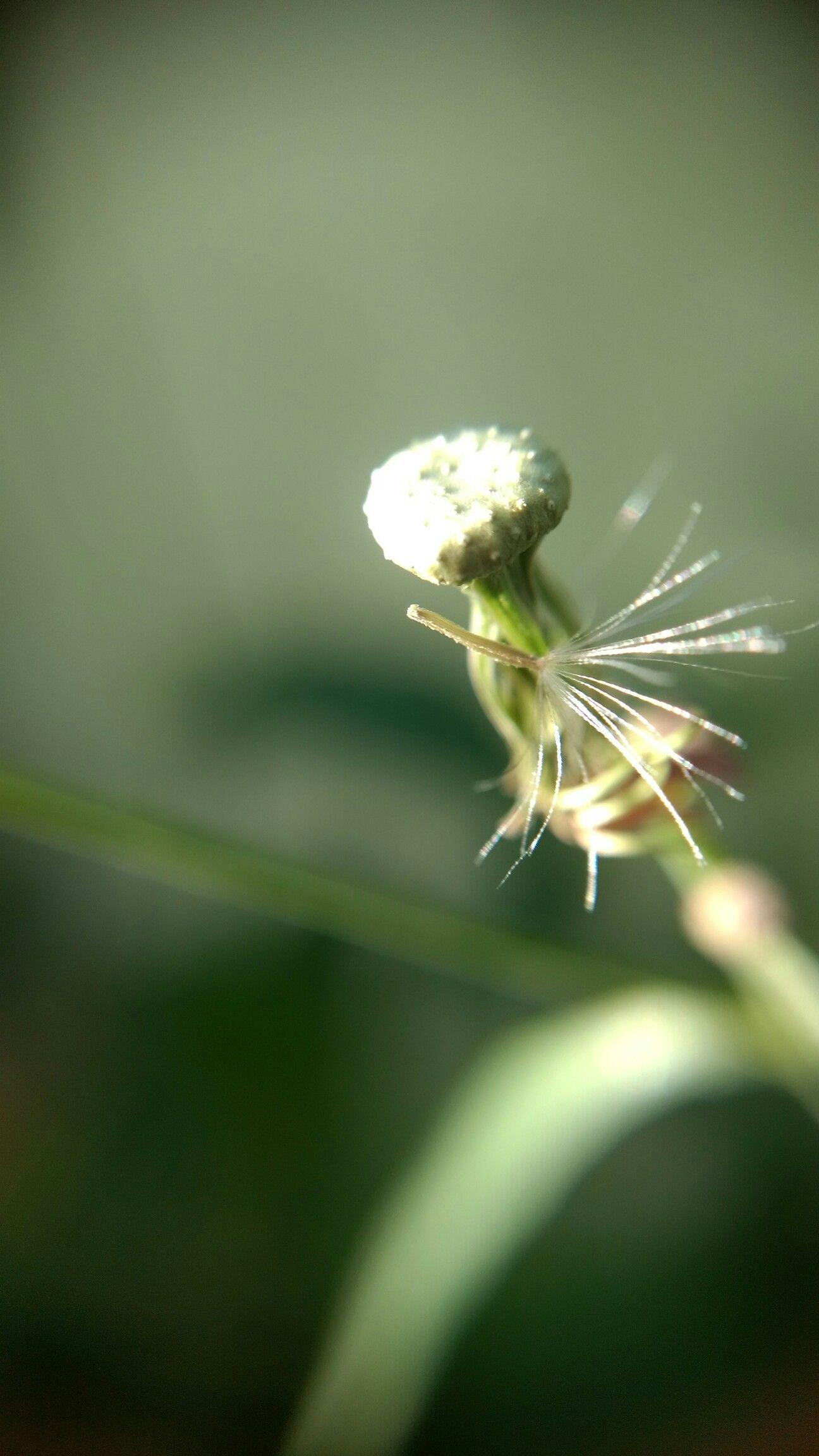 #dandelion #dentedeleao #lens
