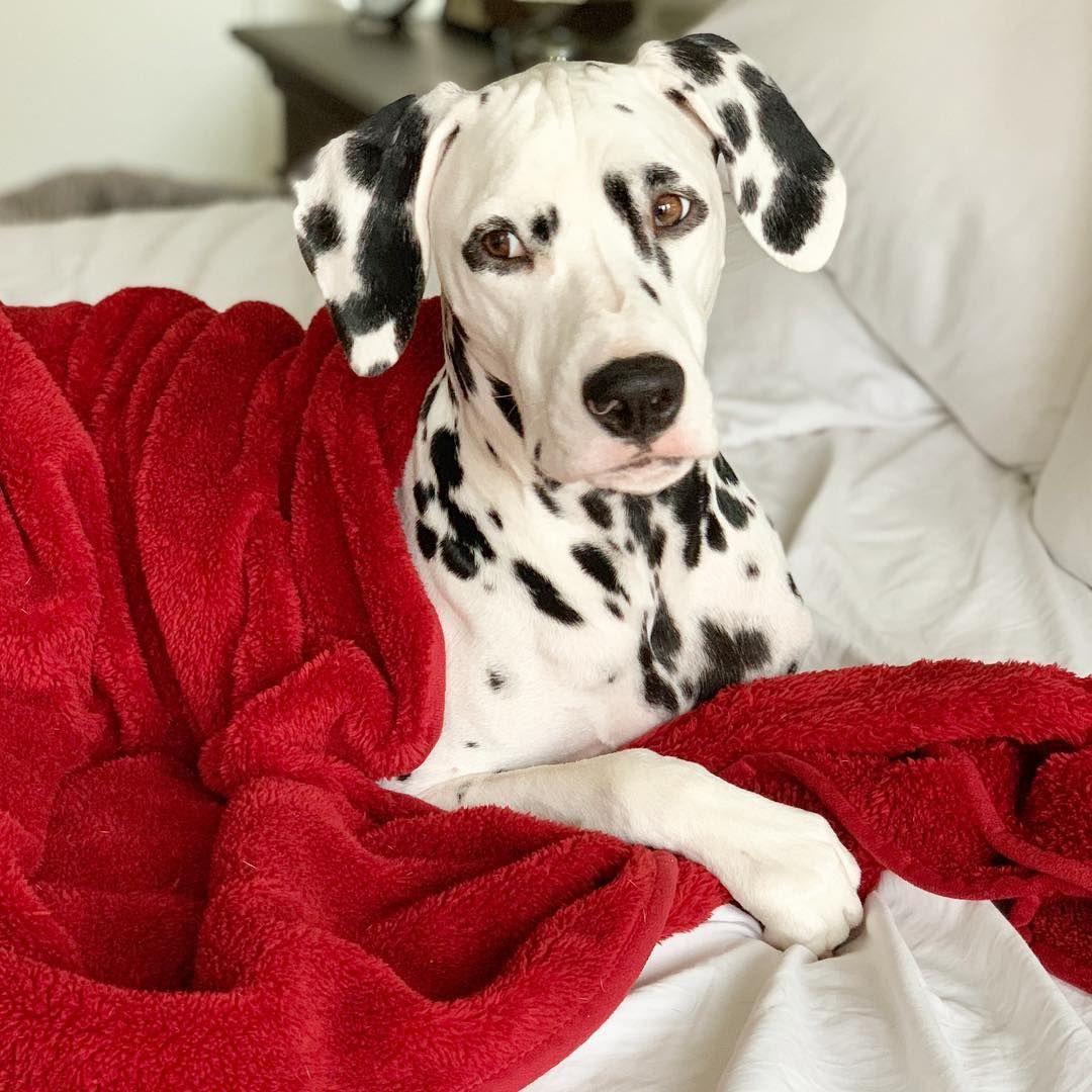 Jackson The Dalmatian Dalmatian Dog Dog Education Puppy Dogs Puppies Dog Photography