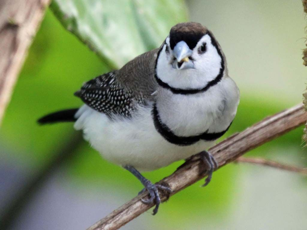 tiny australian bird the bicheno finch also known as owl finch