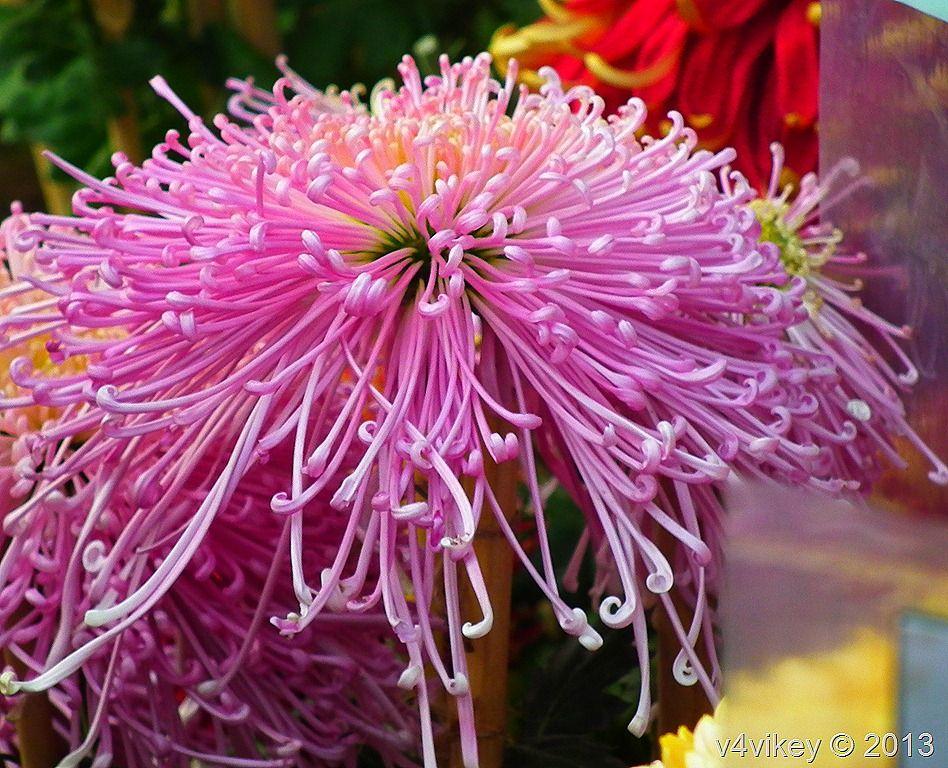 Spider Crysanthemum Chrysanthemum Plant Chrysanthemum Flower Flowers