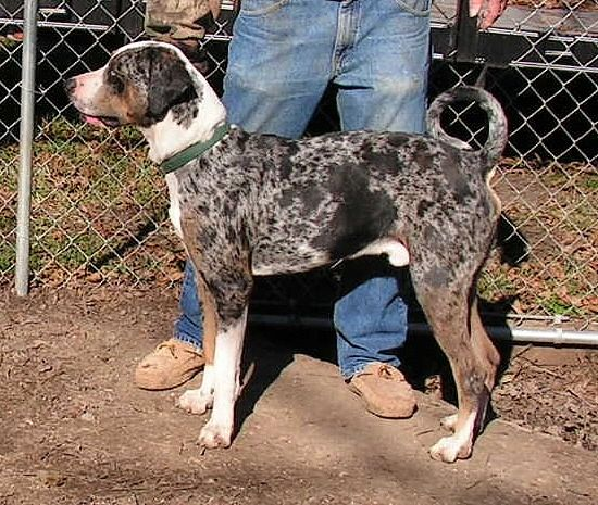 Catahoula With A Curly Tail Like Mine I Know It S
