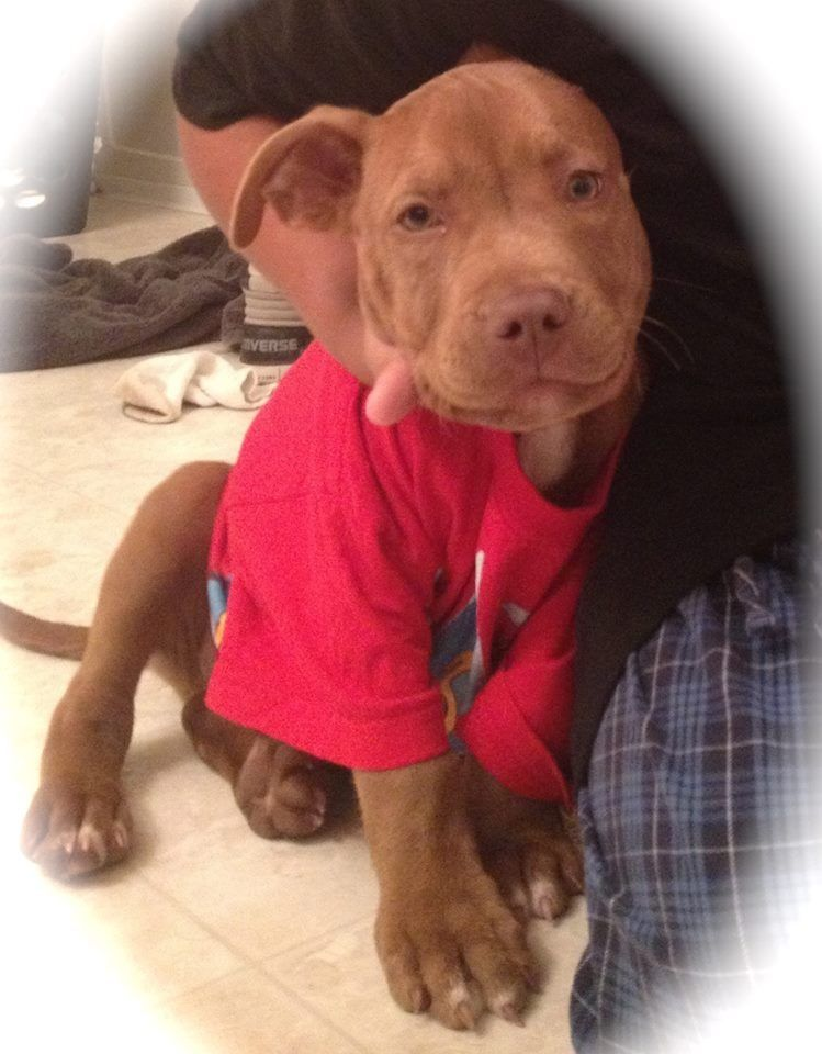 Lost Pit Bull San Antonio Tx Https Www Facebook Com