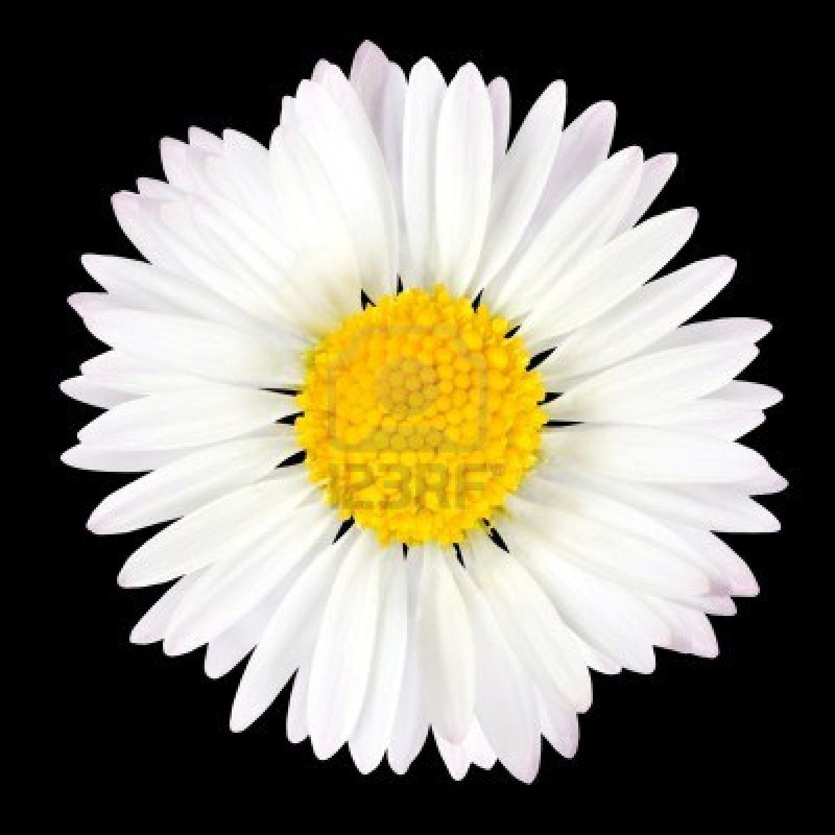 Daisy Flower Isolated On Black Background White With Yellow Dd