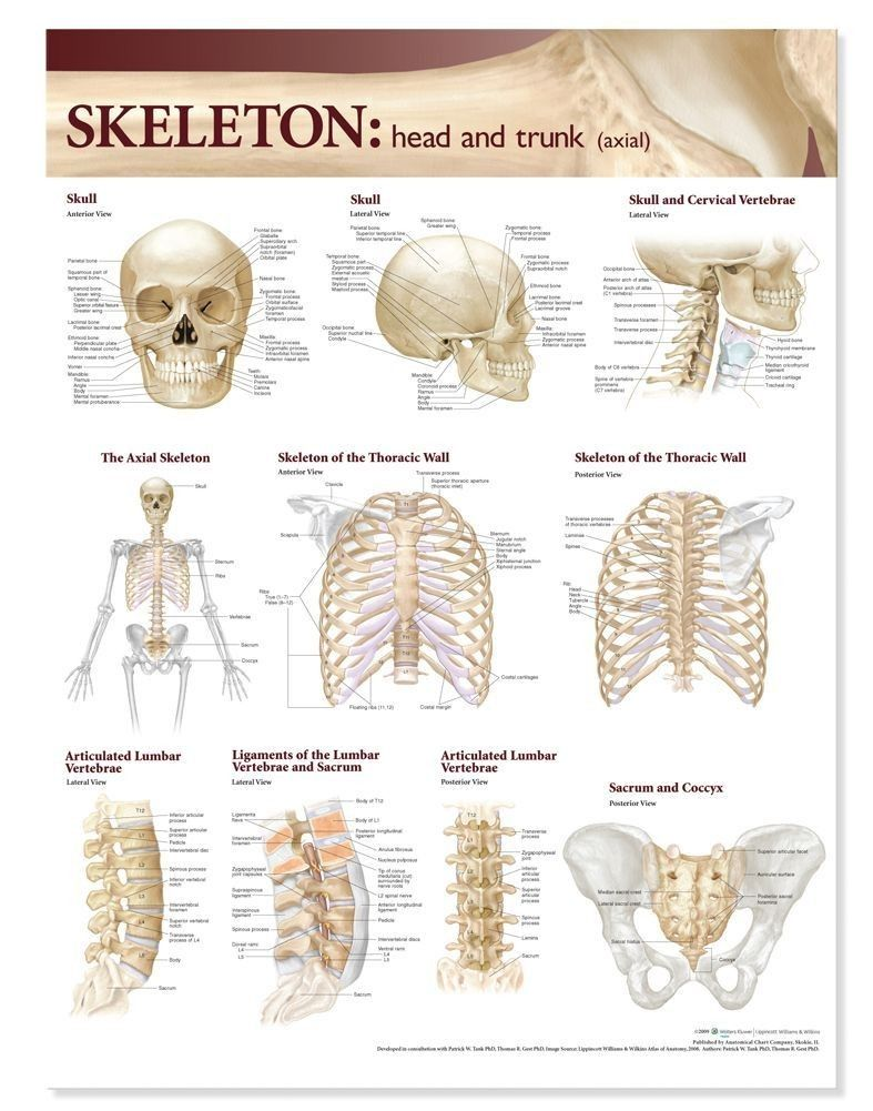 Atlas Of Anatomy Skeletal System Chart Head And Trunk Anatomy