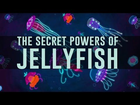 Jellyfish predate dinosaurs. How have they survived so long? - David ...