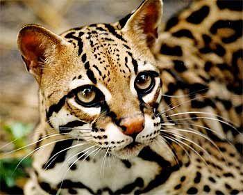 Poważne Znalezione obrazy dla zapytania kot bengalski cena | Me | Cute LP91