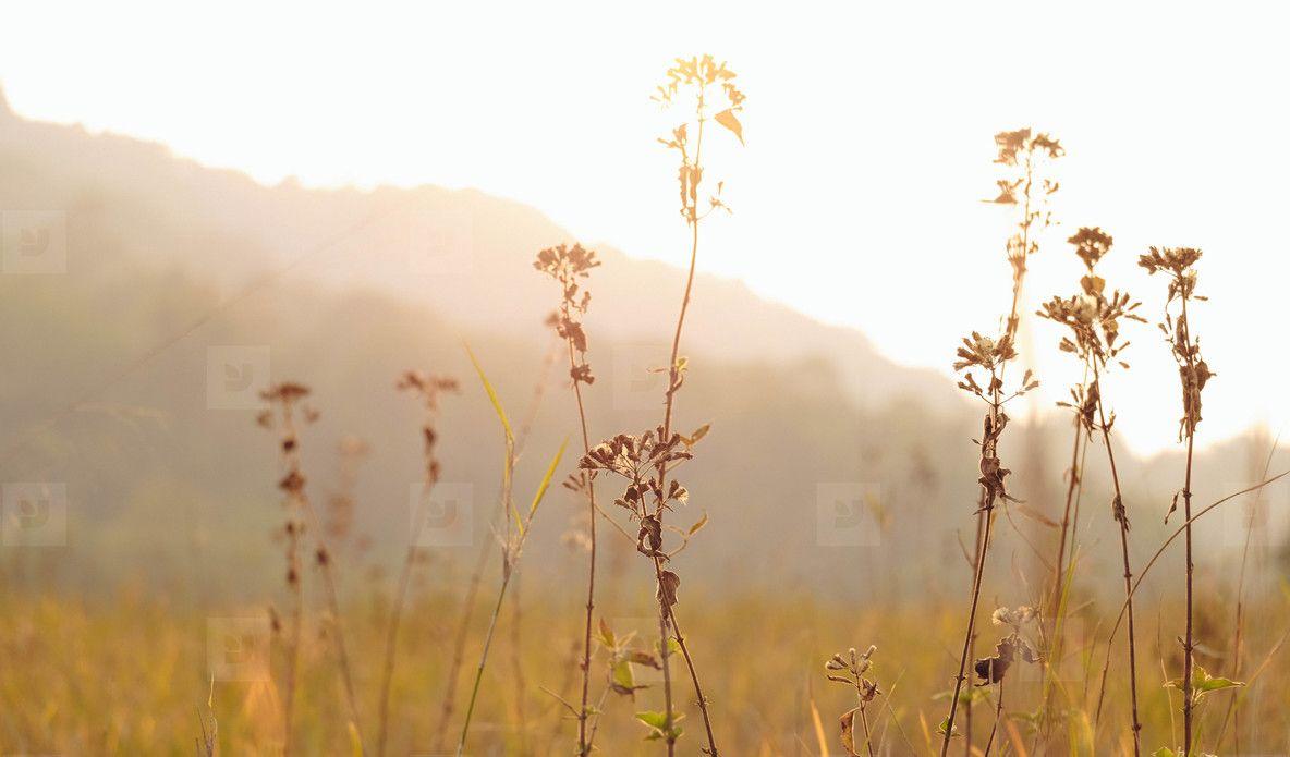 Dry Grass Flowers In Sunset Time Grass Flower Grass Flowers