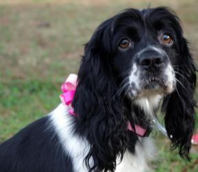 Adopt Dolly On Petfinder Rehome Dog Cocker Spaniel Dog Cocker Spaniel Rescue