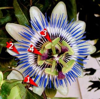 How To Grow And Care For The Passion Vine Passiflora Plant Passion Flower Passion Flower Plant Flowering Vines