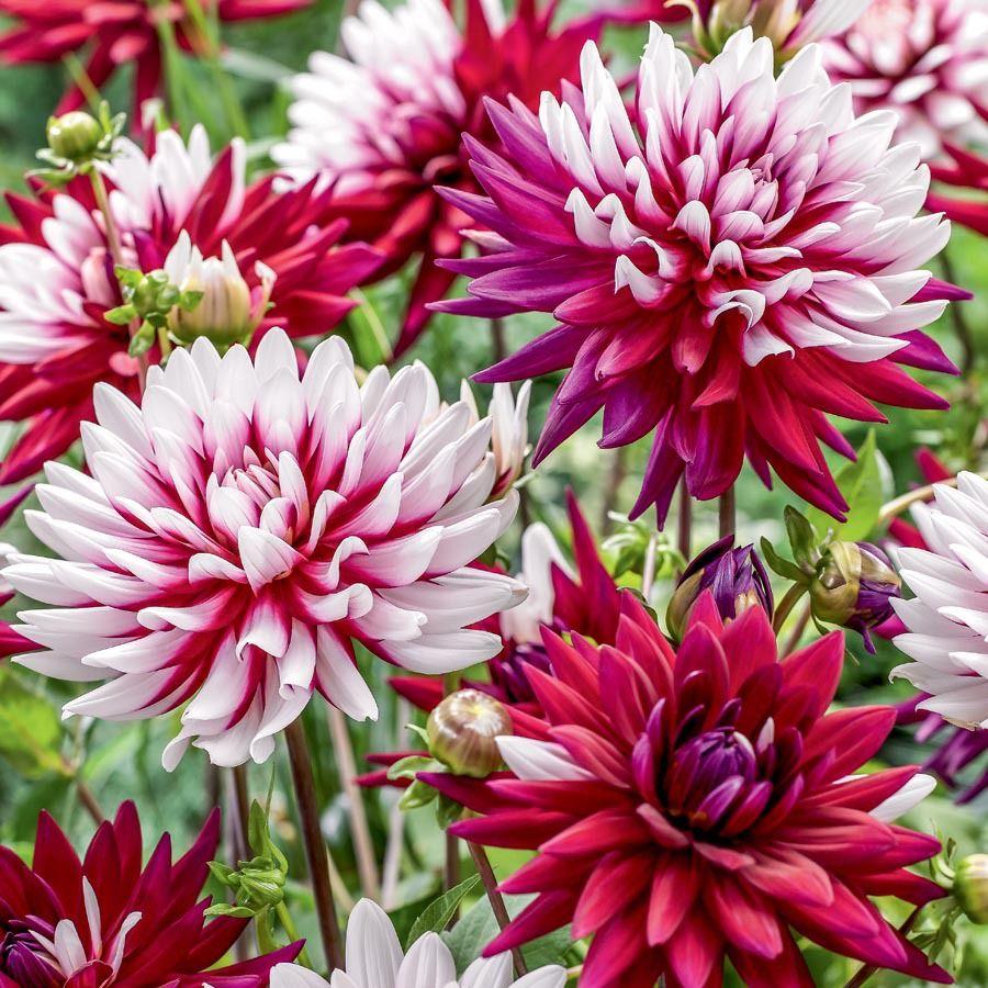 Garden State Bulb 3 Count Multicolor Rebeccas World Dahlia In Pot Lb22645 Lowes Com Bulb Flowers Dahlia Flower Longfield Gardens