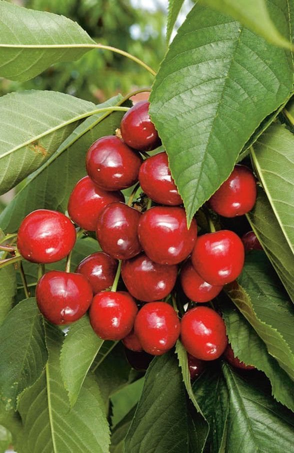 Cherry Bigarreau Canada Giant Prunus Avium Canada Giant Sumgita Fruit Trees Planting Vegetables Fruit Picture