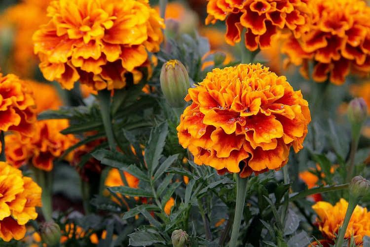 Flowers Of The Dead And Natural PestKillers? Marigolds