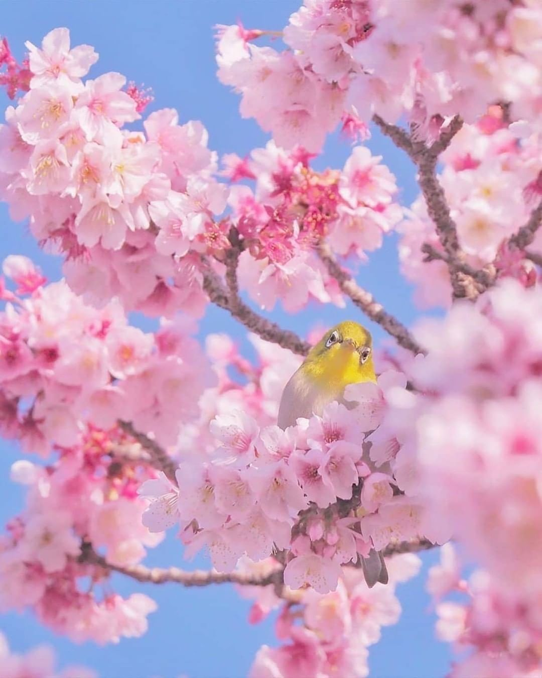4 231 Begenme 32 Yorum Instagram Da Discover Earth Discoverearth It S No Secret That Cherry Bloss Cherry Blossom Tree Photography Cherry Blossom Season