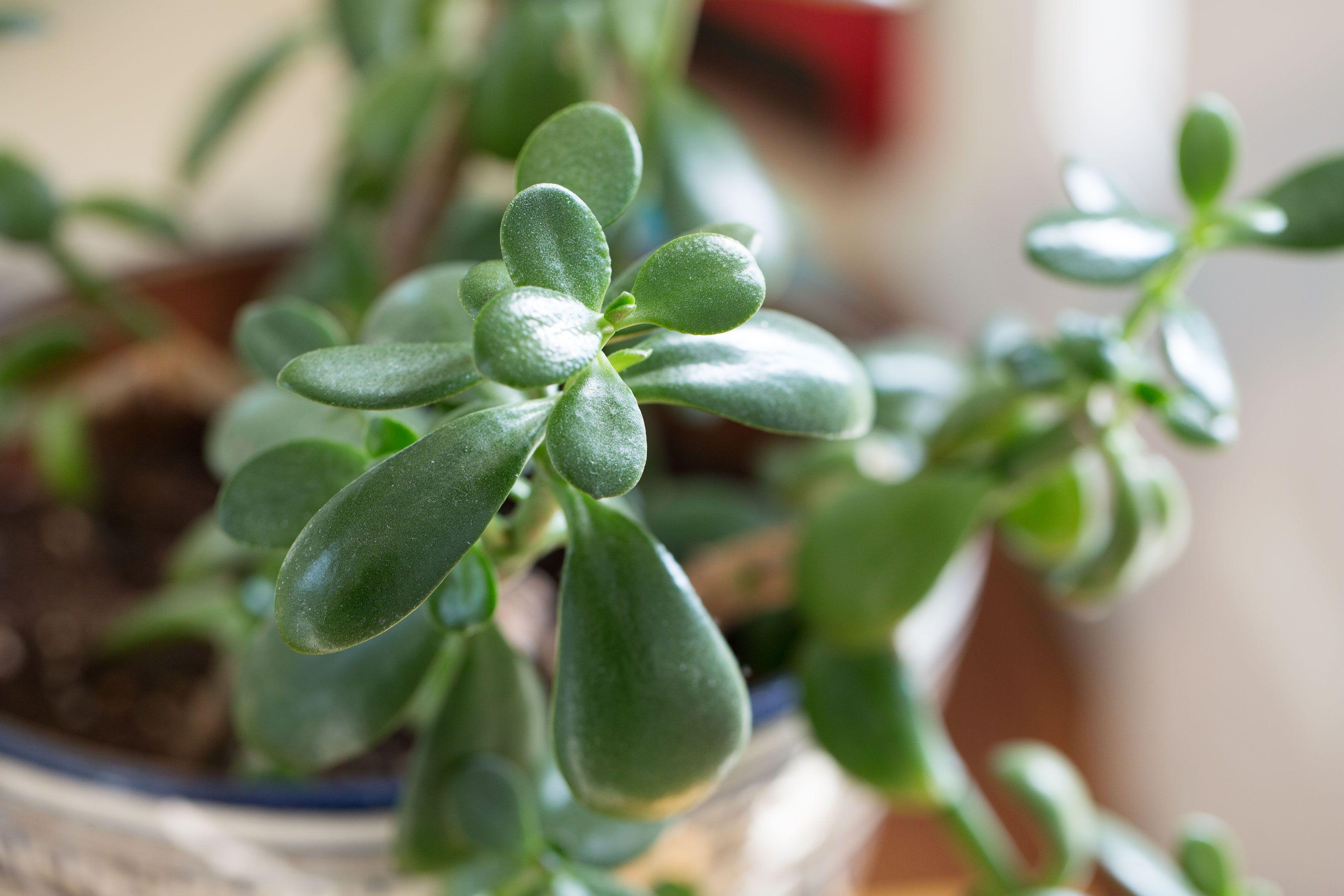 Repotting Jade Plants Hunker Jade Plants Jade Plant Care Plants