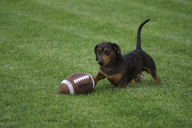 Play football with you dachshund