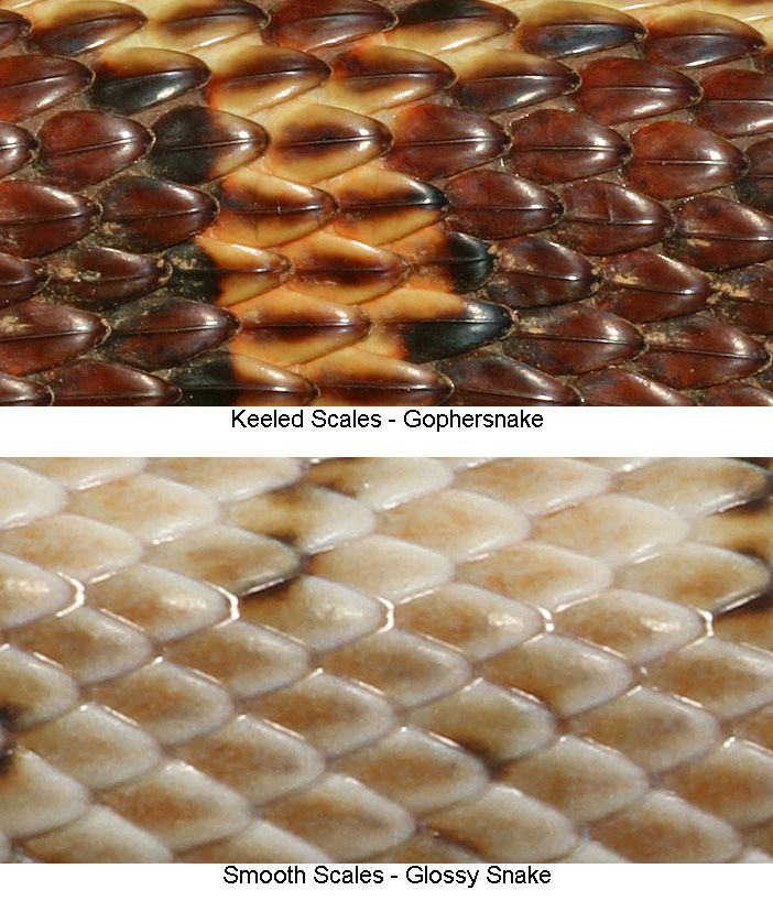 Keeled Scales On A Snake Have Raised Ridge S Herpetology Nature Study Nature Study Snake Reptiles And Amphibians